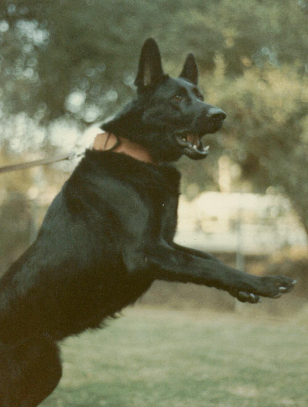 Black German Shepherd Stud Dogs